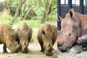 disney rhinos